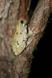 Gray Tree frog, Hyla versicolor