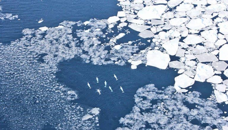 beluga whales near Greenland