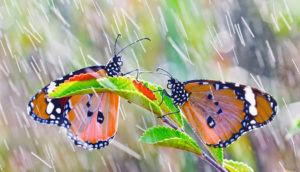 butterflies in the rain