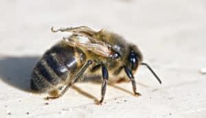 bee with deformed wing virus