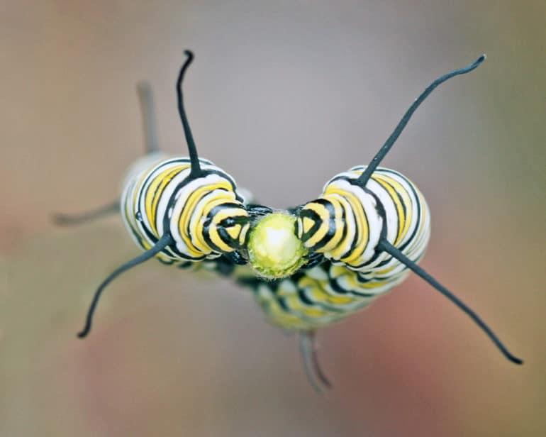 two monarch caterpillars