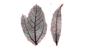 leaves in the Lauraceae family