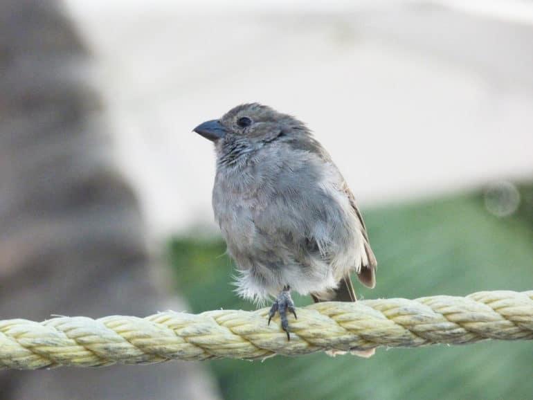 Loxigilla barbadensis