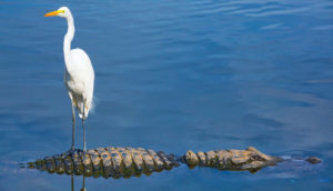 bird on alligator's back