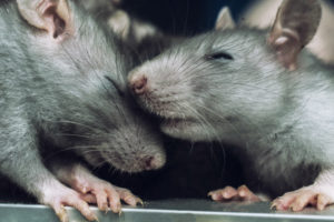 rats cuddle