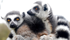 ring-tailed lemurs