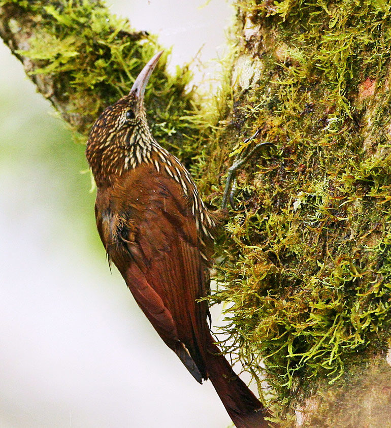 montane woodcreeper bird