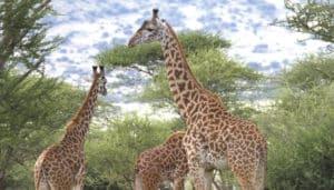 male giraffes