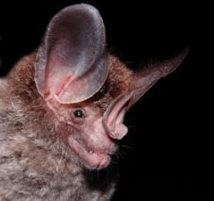 big-eared woolly bat