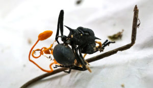 Cordyceps fruiting from an ant