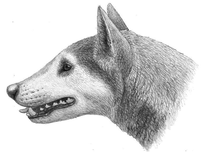 Cynarctus / Cynarctus wangi
