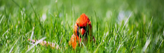 male northern cardinal in grass