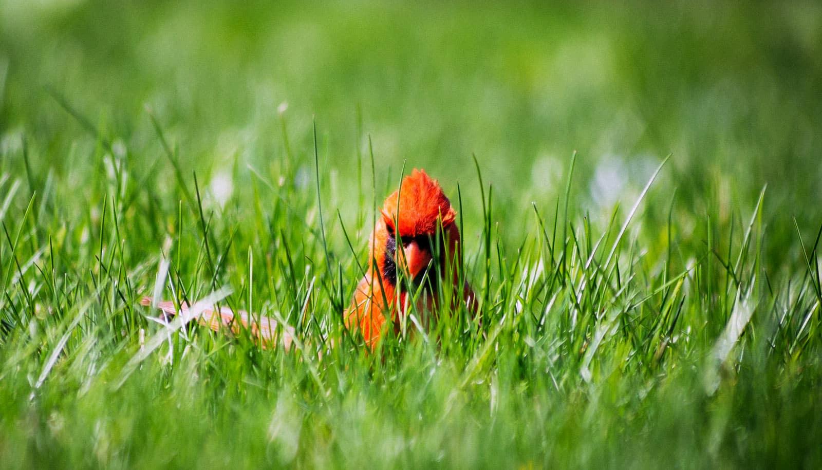 Gene mutation may turn cardinals yellow - Futurity