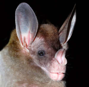 spectral bat