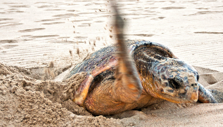 loggerhead turtle on beach