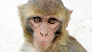 closeup of a Rhesus Macaque