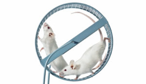 rats on an exercise wheel
