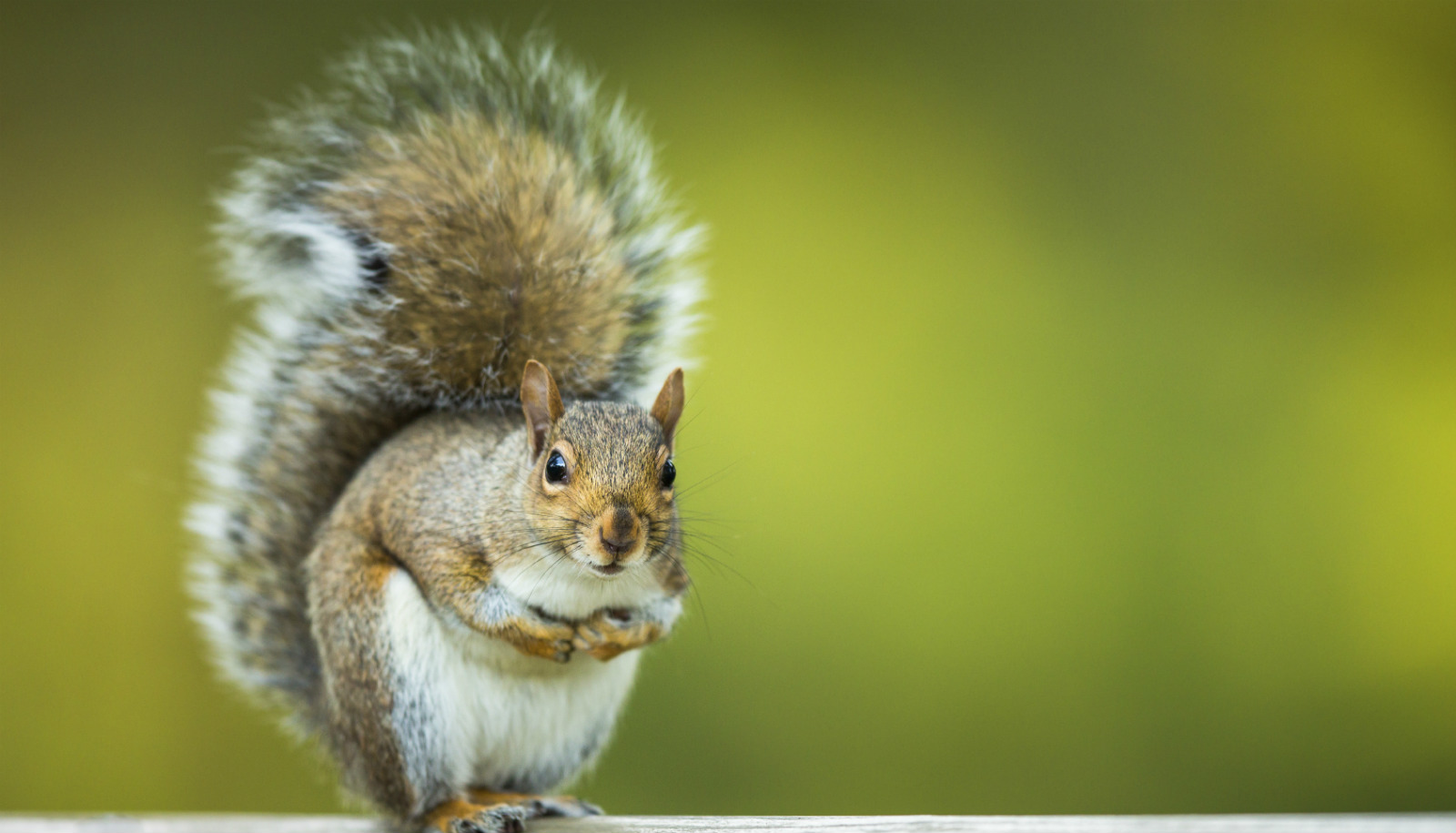 Watch this angry squirrel go nuts and flick its tail - Futurity