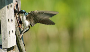 tree swallow with tagging device