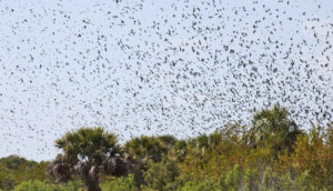 tree swallows overwintering in FL