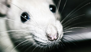 closeup of a white rat