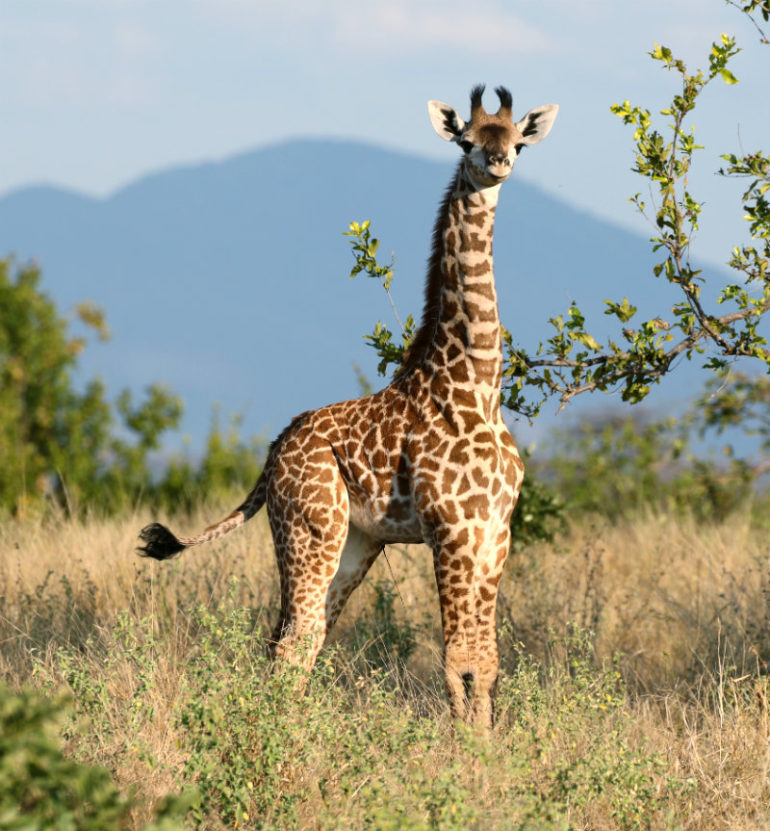 Pictured above is a youngMasaigiraffeand below is an adult intheRuahaNationalPark,Tanzania.(Credit:DougCavener)