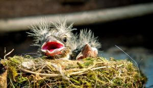 house sparrow nestlings