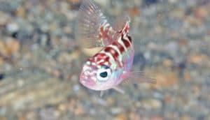 chalk bass fish