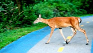 doe on road