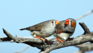 zebra finch pair