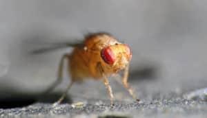 frui fly