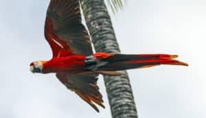 macaw flying