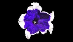 purple & white petunia on black