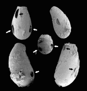 vampire amoebae holes in fossils