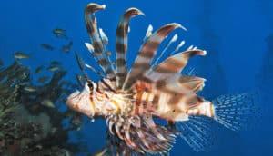 venomous fish