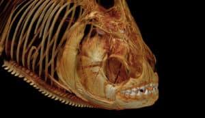 red-throat piranha