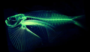 Spotfin hatchetfish