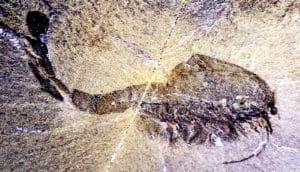 Cambrian fossil of Waptia