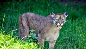 cougar in grass