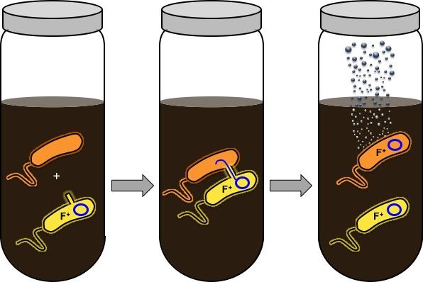 """When the engineered bacterium receives genetic information from another bacterium, it releases a gas to """"report"""" the transaction. (Credit: Jonathan Silberg and Shelly Cheng/Rice U.)"""