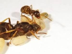 lasius neglectus ants