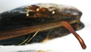mussel foot