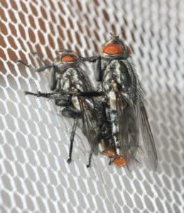 Sarcophagid flies mating