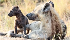 spotted hyena mother & cub