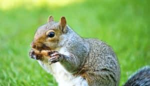 squirrel chews on bone