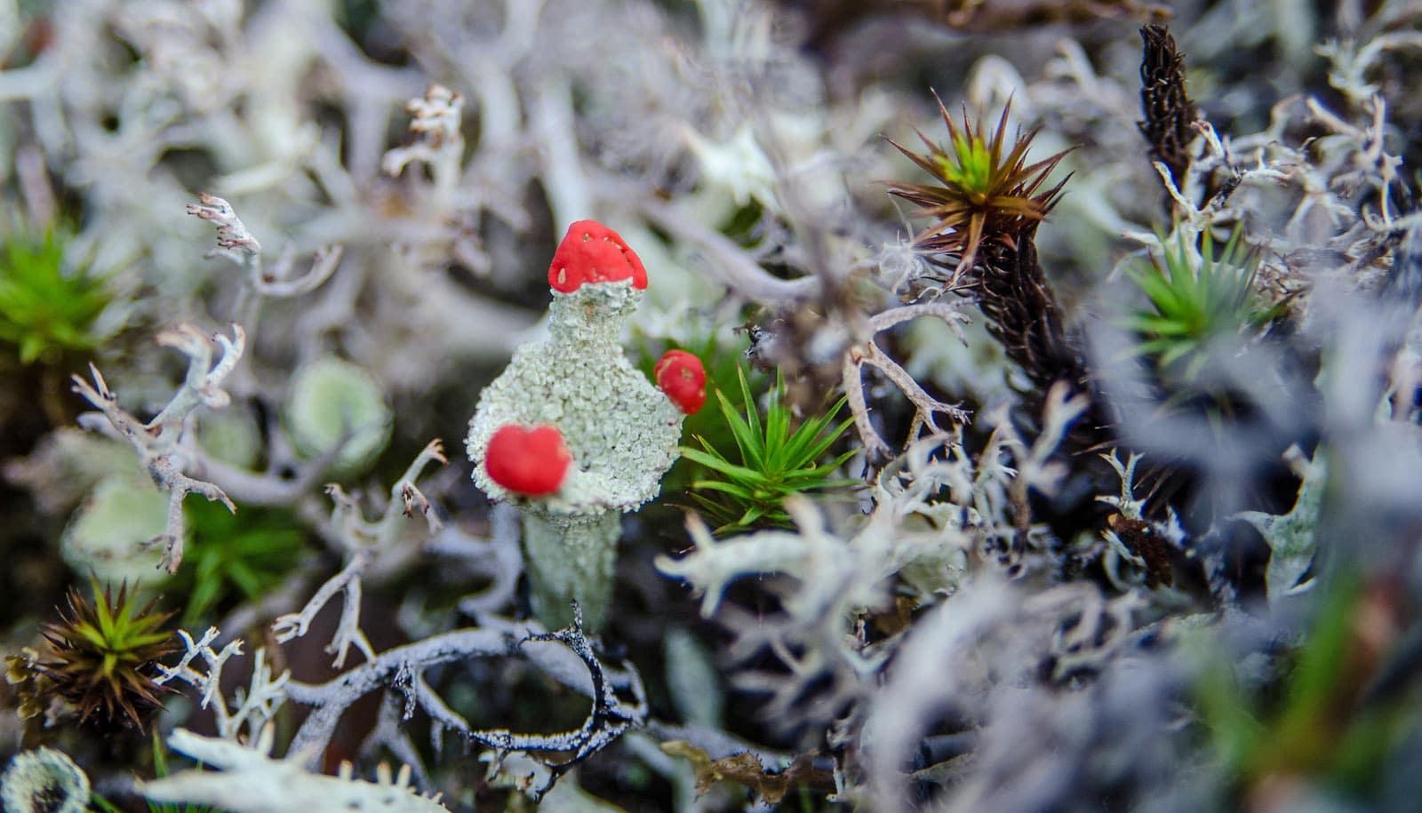 tundra lichen
