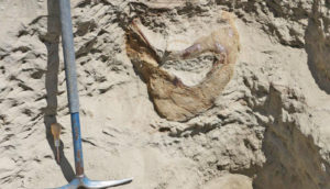 back of T. rex skull