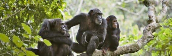 three chimps on a tree limb