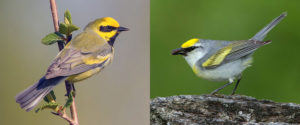lawrence's and brewster's warblers