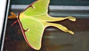 luna moth on screen